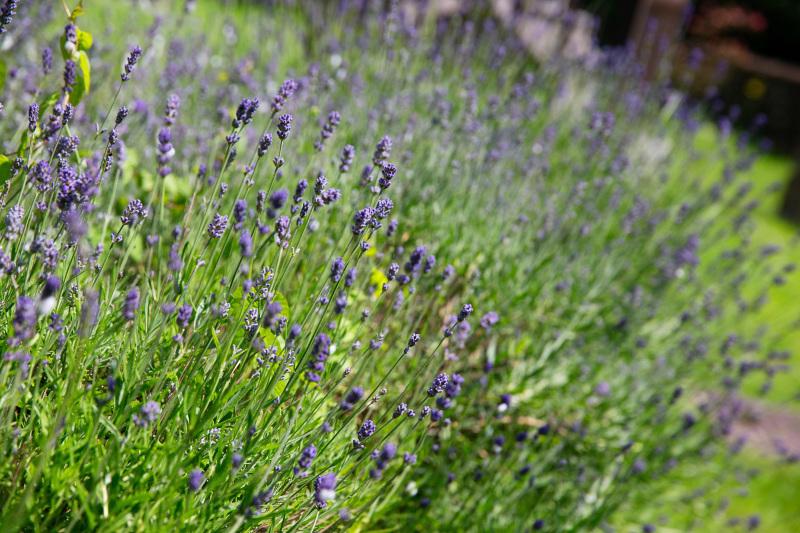 lavender-3991